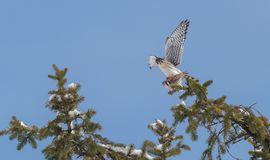 Peregrine Falcon Perch på filial royaltyfri fotografi
