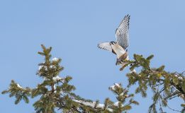 Peregrine Falcon Perch på filial fotografering för bildbyråer