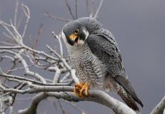 Peregrine Falcon Perch på filial arkivfoto