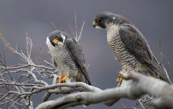 Peregrine Falcon Perch på filial royaltyfria foton