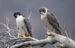 Peregrine Falcon Perch på filial royaltyfri bild