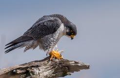 Peregrine Falcon Perch på filial arkivfoton