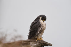 A Peregrine Falcon perched on a dead limb Royalty Free Stock Images