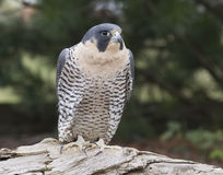 Peregrine Falcon Perched Stock Photography