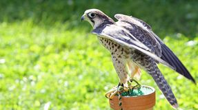 Free Peregrine Falcon Perched On A Trestle Royalty Free Stock Photo - 45117135