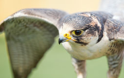 Peregrine falcon. Perched portrait shot Royalty Free Stock Image