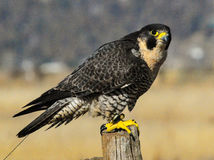 Peregrine Falcon. Perched on post Royalty Free Stock Photos