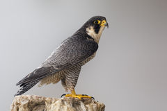 Peregrine Falcon perched on a rock Royalty Free Stock Photos