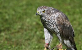 Peregrine Falcon perched on a trestle during a demonstration of Royalty Free Stock Photography