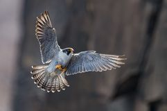Peregrine Falcon. On the cliffs in New Jersey Stock Photos