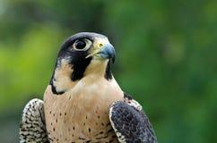 Peregrine Falcon (peregrinus de Falco) Fotografia de Stock