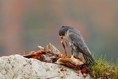 Peregrine Falcon, peregrinus de Falco, com o faisão comum da matança na pedra Floresta alaranjada do outono no fundo Pássaro de r Fotografia de Stock Royalty Free