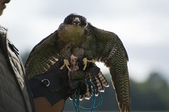 Peregrine Falcon Royalty Free Stock Images
