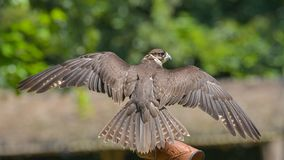Peregrine Falcon, placed on the hand of the falconer. Very close, seen from behind, with wings spread out royalty free stock images
