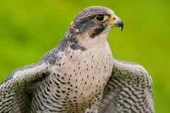 Peregrine Falcon portrait Royalty Free Stock Images
