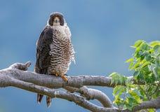 Peregrine Falcon Portrait Stock Photography
