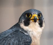 Free Peregrine Falcon Portrait Stock Images - 129060844