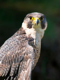 Peregrine Falcon Portrait Royalty Free Stock Photo