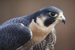 Peregrine Falcon Portrait Fotografía de archivo libre de regalías