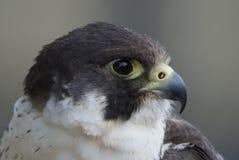 Peregrine Falcon Portrait Foto de archivo libre de regalías