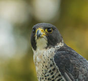 Peregrine falcon. Portrait of adult Peregrine falcon looking for food Stock Photos