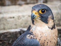 Peregrine Falcon portrait Falco peregrinus. Peregrine Falcon close up portrait Falco peregrinus Royalty Free Stock Image