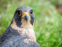 Peregrine Falcon portrait Falco peregrinus. Peregrine Falcon close up portrait Falco peregrinus Royalty Free Stock Photo