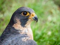 Peregrine Falcon portrait Falco peregrinus. Peregrine Falcon close up portrait Falco peregrinus Stock Photography
