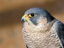 Peregrine Falcon portrait Falco peregrinus Royalty Free Stock Images