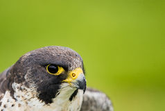Peregrine Falcon. A Portrait of a Peregrine Falcon with a green Background Stock Image