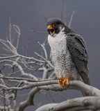 Peregrine Falcon Portrait. Along the Hudson River between New Jersey and New York royalty free stock images