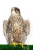 A Peregrine Falcon poses for the camera Royalty Free Stock Photos