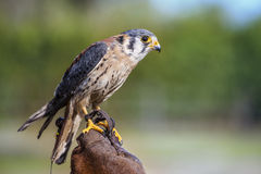 Peregrine Falcon. Posing on the hand of the falconer stock photos