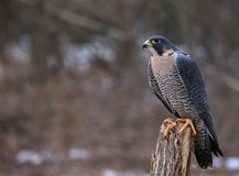 Peregrine Falcon postada Foto de Stock