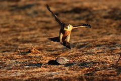 Peregrine falcon on prey royalty free stock images