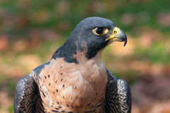 Peregrine Falcon Profile Photographie stock libre de droits