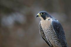 Peregrine Falcon Profile Royalty Free Stock Photos