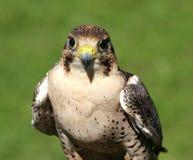 Peregrine falcon ready for flight Royalty Free Stock Photo