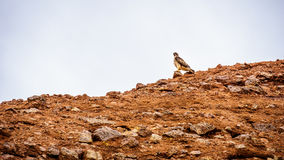 Peregrine Falcon resting on the red sandstone buttes of Papago Park Royalty Free Stock Image