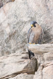 Peregrine falcon on rocky ledge Stock Photo