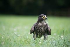 Peregrine Falcon's feather feast Stock Photo