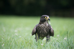 Peregrine Falcon & x27; s-fjäderfestmåltid Arkivfoto