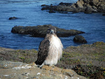 Peregrine Falcon By The Sea Immagini Stock