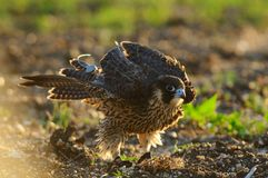 Peregrine Falcon shakes. Falco peregrinus. Peregrine Falcon shakes. Falco peregrinus Royalty Free Stock Photos