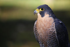 Peregrine Falcon Side Profile Fotografia de Stock