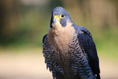 Peregrine Falcon Side Profile Fotos de archivo libres de regalías