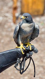 Peregrine Falcon. A peregrine falcon sits perched on a gloved hand Royalty Free Stock Photos