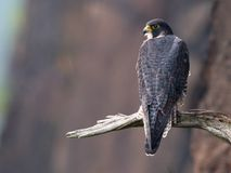 Peregrine Falcon Royalty Free Stock Photography