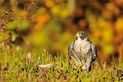 Peregrine Falcon sitting on the ground Royalty Free Stock Photography