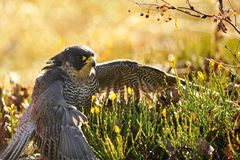 Peregrine Falcon sitting on the ground Royalty Free Stock Photo